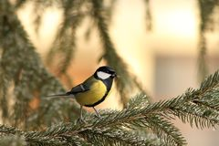 Great tit on spruce branch Stock Images