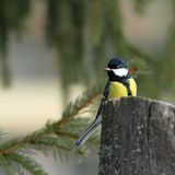 Great tit in spruce forest Stock Photo