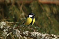 Great tit in spruce tree Stock Photos