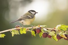Great tit standing on a branch with Gooseberries. Great tit is standing on a branch with Gooseberries Stock Photo