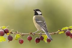 Great tit standing on a Gooseberry branch. Great tit is standing on a Gooseberry branch Royalty Free Stock Images