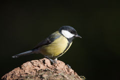 Great tit standing on a tree trunk, Vosges, France Royalty Free Stock Image