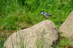 Great Tit. A Great Tit stands on stone. Scientific name: Parus major Stock Image