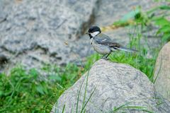 Great Tit. A Great Tit stands on stone. Scientific name: Parus major Royalty Free Stock Photos