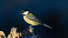 Great Tit on the Stump Stock Images