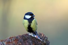 Great tit on a stump with seeds Stock Photos