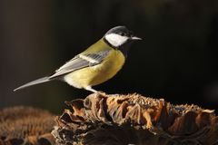 Great tit on sunflower Stock Photography