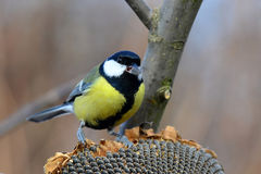 Great tit with sunflower seed in beak Stock Photos