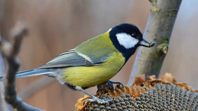 Great tit with sunflower seed in beak Royalty Free Stock Photo