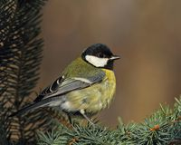 Great tit  on a sunny  branch Royalty Free Stock Photos