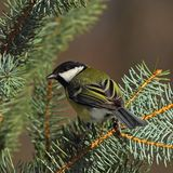 Great tit  on a sunny fir branch Stock Image