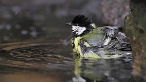 Great Tit stock video footage
