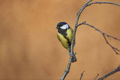 Great Tit Royalty Free Stock Photography