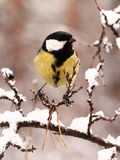 Great tit. S perched on a branch in snowy forest Stock Image