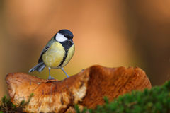 Great tit on toadstool Stock Photography