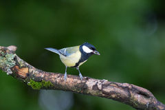 Great tit on tree Royalty Free Stock Image