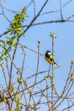 Great tit on a tree branch Stock Photography