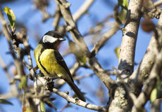 Great Tit on A Tree Branch (Parus major) Stock Photography