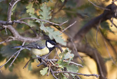 Great Tit on A Tree Branch (Parus major) Royalty Free Stock Images