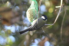 The great tit in tree Stock Images