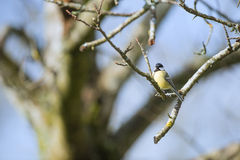 Great tit in tree Stock Images