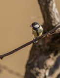 Great Tit on a twig Stock Images