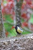 The great tit on the wall Stock Photography