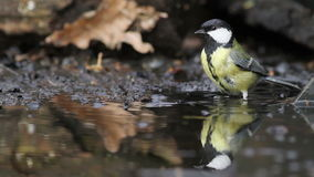 Great tit wash in the pond stock video