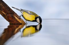 Great tit on water. Royalty Free Stock Photo