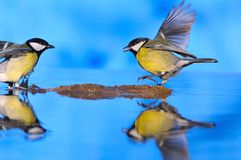 Great tit on water. Stock Image