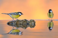 Great tit in water. Royalty Free Stock Images