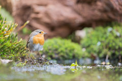 Great tit in water Royalty Free Stock Photos