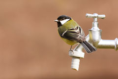 Great Tit on a water tap Royalty Free Stock Photos