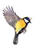 Great Tit. Stock Image