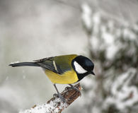 Great Tit in winter Stock Photography