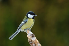 Great Tit in the winter Royalty Free Stock Photo
