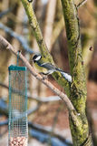 Great tit in the winter Royalty Free Stock Photos