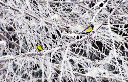 Great tit in winter Stock Images