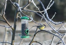 Great tit in winter Royalty Free Stock Image