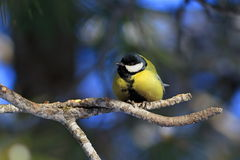 Great tit in winter forest on the branches of cedar Stock Images