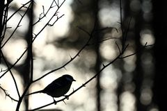 Great tit in winter forest Stock Images