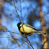 Great tit in winter forest. Royalty Free Stock Photography