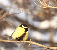 Great tit  in winter forest Stock Photos