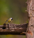 Great tit between wooden logs Royalty Free Stock Photography
