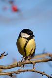 Great Tit on woodland perch. With blue background Stock Image