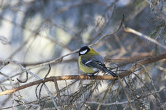 Great tit in woods Stock Image