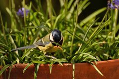 Great Tit with worm among the bluebells Stock Photography