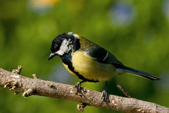 Great Titmouse Stock Image