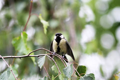 Great titmouse nestling bird sitting on a branch at the beginning springtime Royalty Free Stock Photography