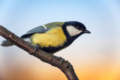 Great Titmouse (Parus major) Royalty Free Stock Images